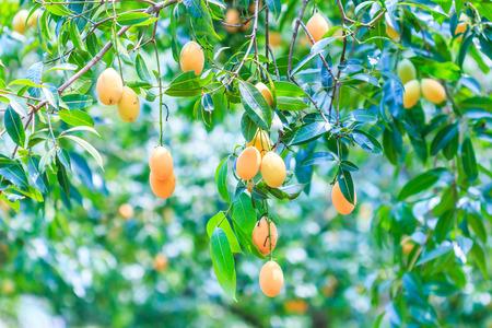 feuille arbre: Mayongchid Maprang Marian Plum Plum et Mango Orchard thailande