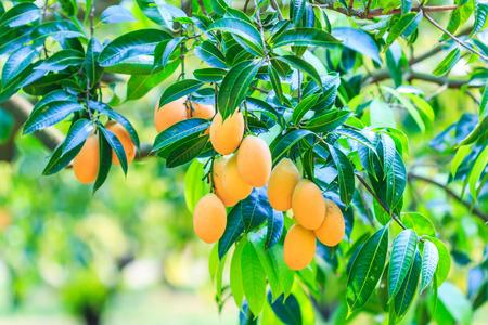 Mayongchid ヌンマプラーン マリアン梅とプラム マンゴー タイ果樹園