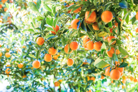orange on the tree
