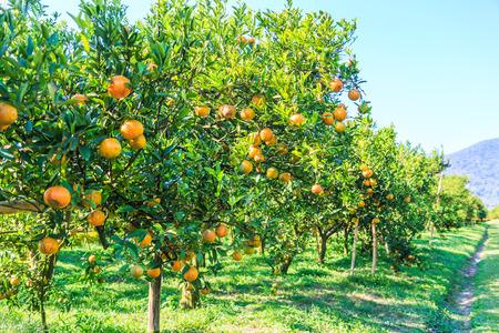 oranje aan de boom Stockfoto