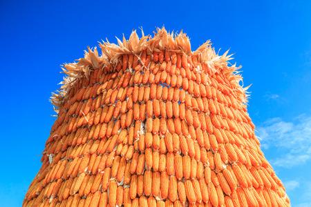 harvest background: Corn harvest background Stock Photo