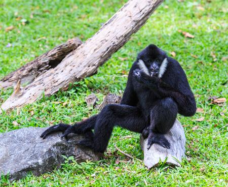 biped: gibbon
