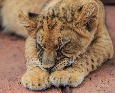 tigre cachorro: Cachorro de León