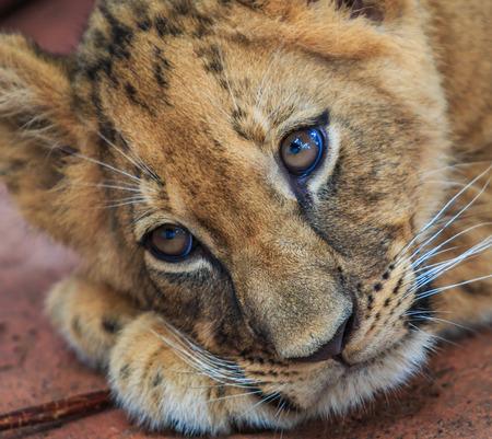 lion cub: Lion cub