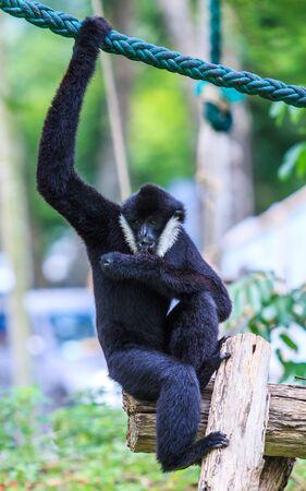 hominid: gibbon