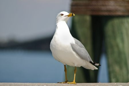 myers: Seagull on Fort Myers, Florida Stock Photo