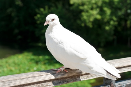 White Dove in Moscow, Russia, East Europe Stock Photo