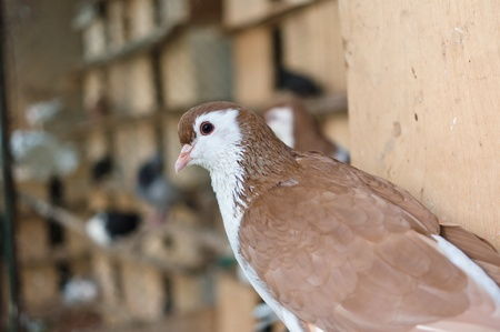 White-brown pigeon in Moscow, Russia
