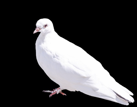 One White Dove Isolated on Black Background photo