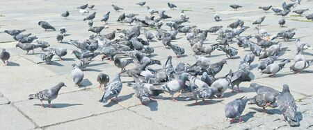 Pigeons on city street, Moscow, Russia, East Europe photo