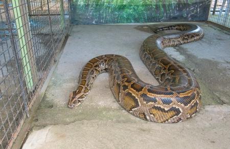 Close up of big Tiger Reticulated Python photo