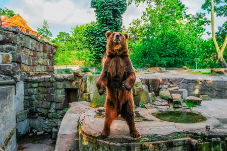 Brown bear (Ursus arctos) standing, front view Stock Photo