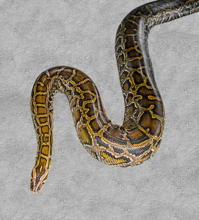 peril: Close up of big Tiger Reticulated Python Stock Photo