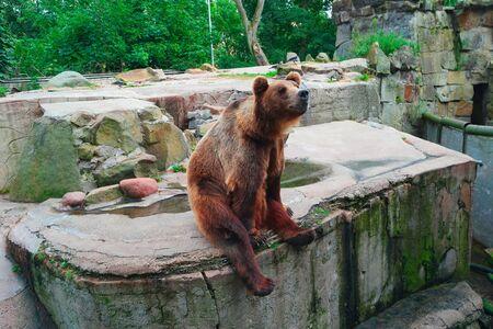 arctos: Brown bear Ursus arctos sitting, side view