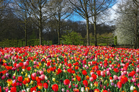 Beautiful landscape with blooming colorful tulips, Keukenhof garden, Netherlands. Stock Photo