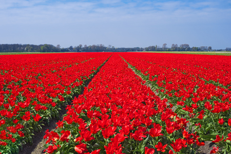 Tulip field near Keukenhof, Netherlands, Europe. Famous bulb fields with blooming flowers in Holland. Dutch field with red tulips. Beautiful spring landscape. Scenery of tulip farm in North Holland