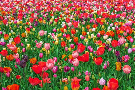 Blooming colorful tulips, Keukenhof garden, Netherlands, Europe. Spring outdoor scenery. Flower bed in park. Beautiful multicolored landscape Stock Photo