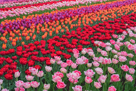 Colorful tulips in spring, Keukenhof, Netherlands, Europe. Blooming tulip, Keukenhof garden. Beautiful multicolored landscape. Flower field with dutch tulips. Scenery of tulip farm in North Holland