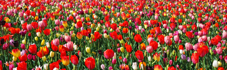 Panorama of colorful tulips, Keukenhof garden, Netherlands. Beautiful landscape with blooming multicolored flowers. Spring outdoor scenery. Flower bed in park. Panoramic view