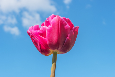 Blooming pink tulip flower close up on blue sky background, Keukenhof garden, Lisse, South Holland, Netherlands, Europe. Spring outdoor scenery. Flower bed in park. Beautiful romantic landscape Stock Photo