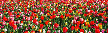 Beautiful landscape with blooming multicolored flowers. Spring outdoor scenery, panoramic view. Panorama of colorful tulips. Flower bed in park, Netherlands