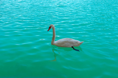 Beautiful white swan swimming in Bled lake Slovenia, Europe. Romantic landscape. Cygnus. Profile of White Mute Swan on clear turquoise water of blue lake in sunny day. Summer scenery. Slovenian nature