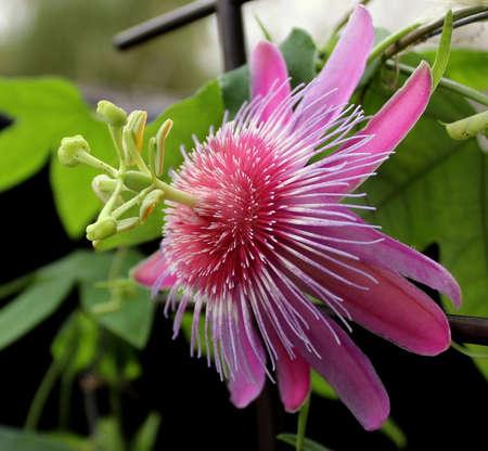 gentle: Gentle passiflora