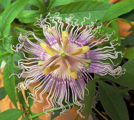 passiflora: Gentle passiflora