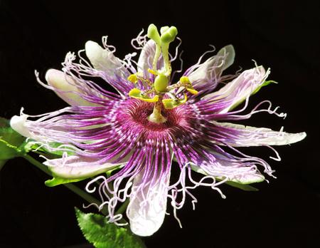 passiflora: Soft passiflora on dark background Stock Photo