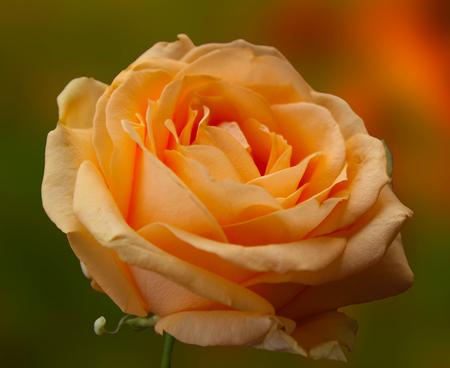 gentle: Gentle yellow rose Stock Photo