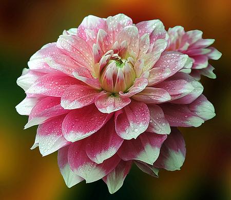 Nice pink dahlia Stock Photo