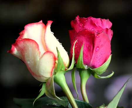 fragrant: Two elegant fragrant roses