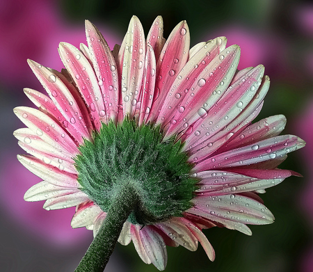 dewy: Dewy pink gerbera on dark background