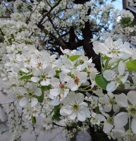 peer to peer: Flores Peer árbol de flor en el jardín Foto de archivo