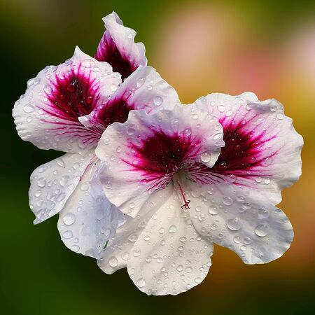 waterdrops: White and purple muscat flowers with waterdrops
