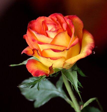 Nice multicolor rose on black background