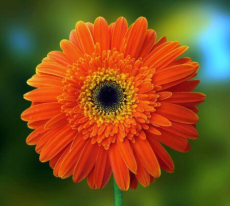 gentle: Gentle orange gerbera Stock Photo
