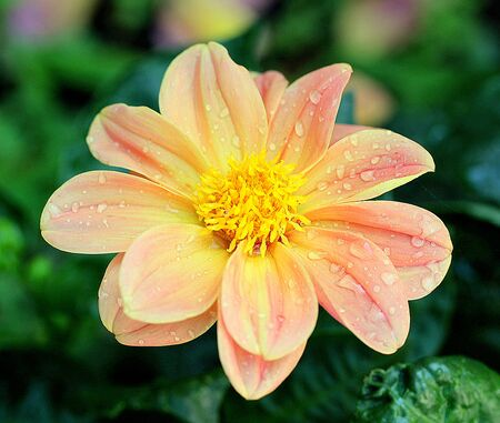 delicate: Delicate dahlia on natural background