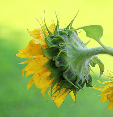 gentle: Gentle sunflower in the natural environment