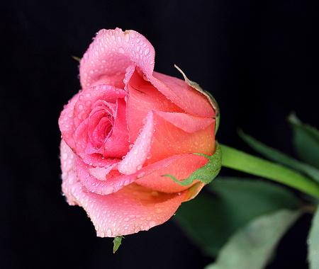 gentle: Gentle pink rose on black beckground