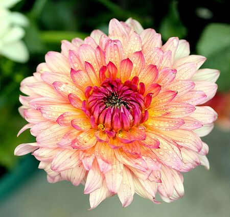 brigh: Nice multicolor dahlia Stock Photo
