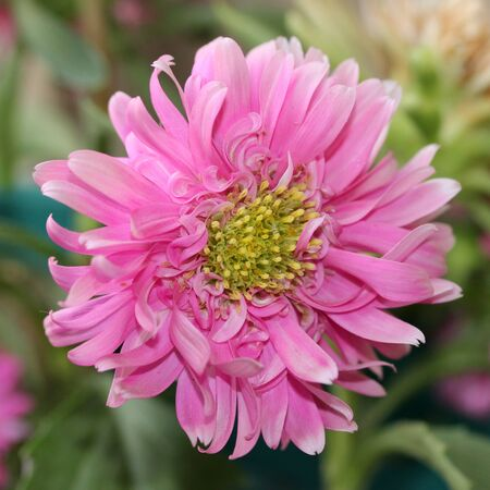 disheveled: Disheveled pink dahlia in natural environment