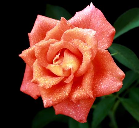 marvelous: Marvelous colorful rose on dark background