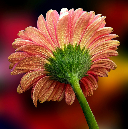 pictured: Nice gerbera flower in a garden pictured from behind