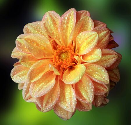 delicate: Delicate multicolored dahlia with water drops