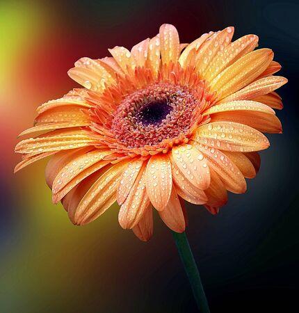 waterdrops: Gentle orange gerbera with waterdrops