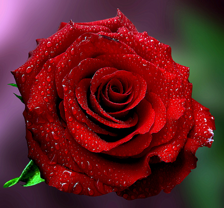 Stunning red rose with water drops in natural background