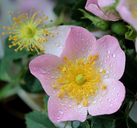 natura: Wild rose (Rosa canina) Stock Photo