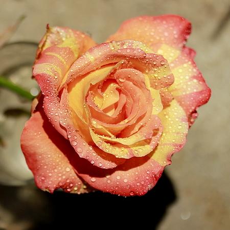 gentle: Gentle rose Stock Photo
