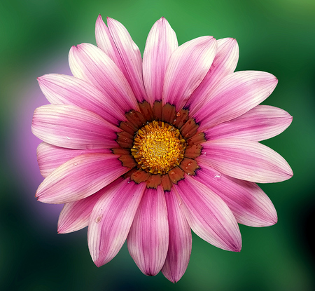 Pink gerbera on  green natural background Stock Photo